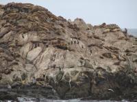 Seals at 17-Mile-Drive